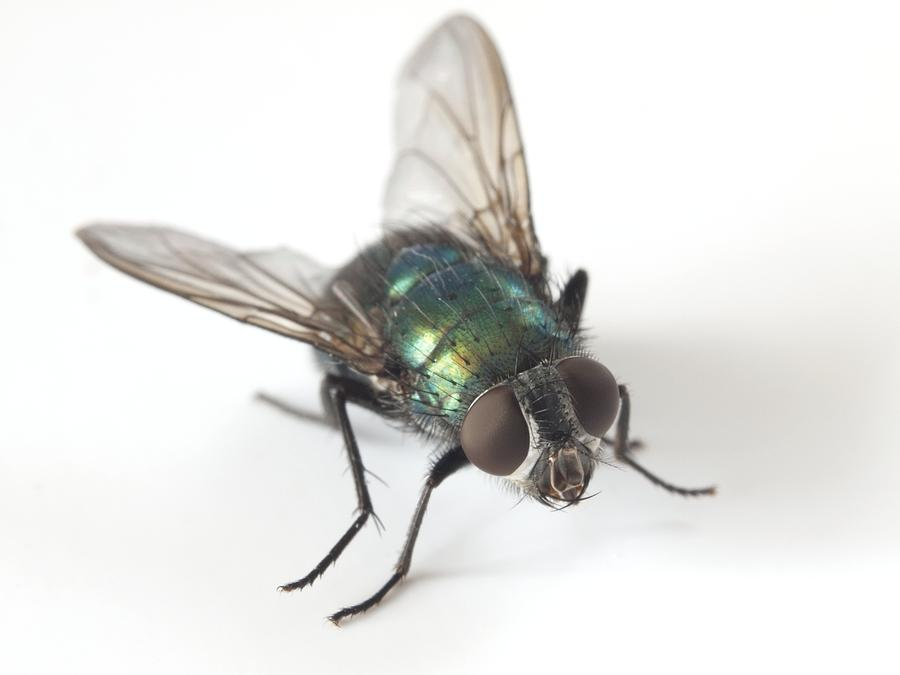 Animal Photograph - Greenbottle Fly by Dr Jeremy Burgess