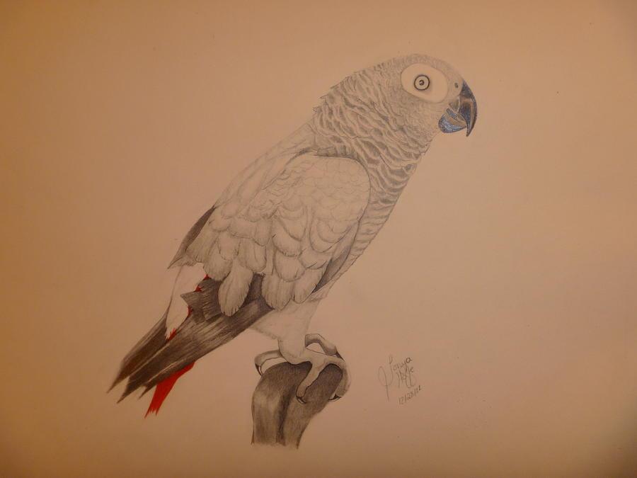 Grey Drawing - Grey African Parrot by Tonya Hoffe