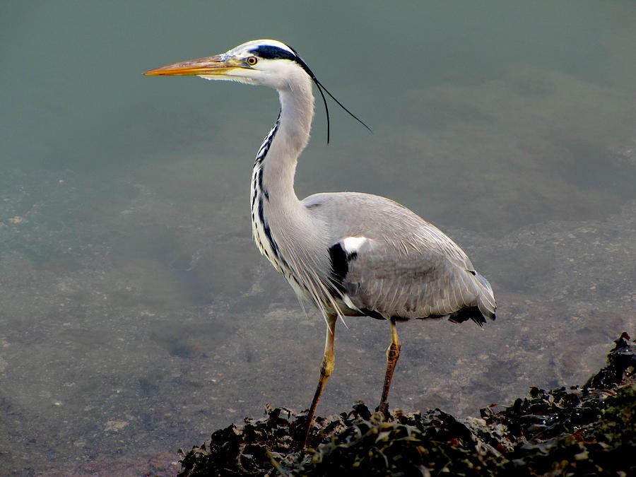 Grey Heron Photograph By Barbara Walsh