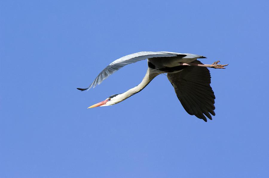 Ardea Cinerea Photograph - Grey Heron Flying by Duncan Shaw