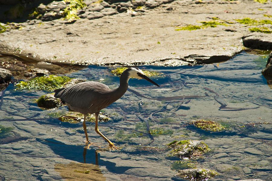 Beak Photograph - Grey Heron by Graeme Knox