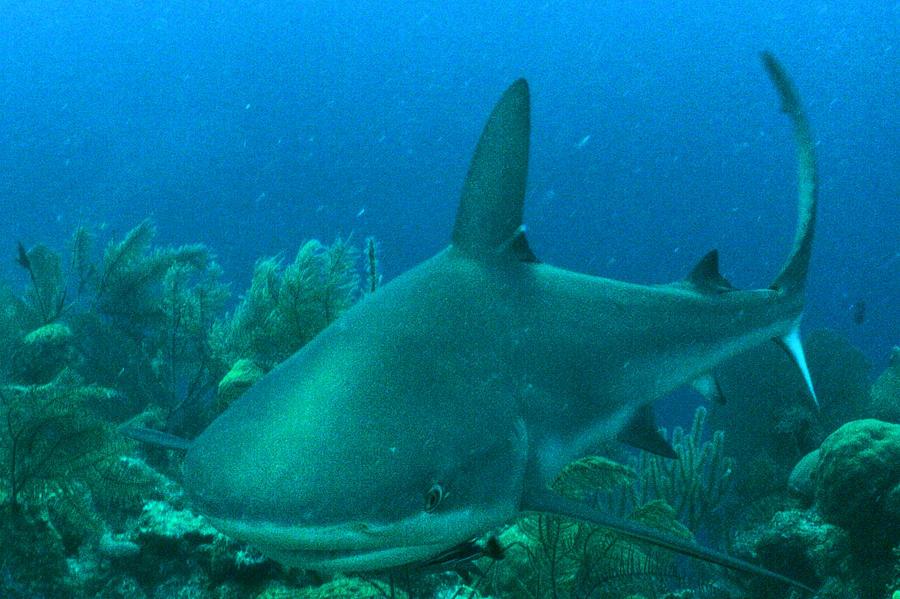 Shark Photograph - Grey Reef Shark by Ladonna Idell