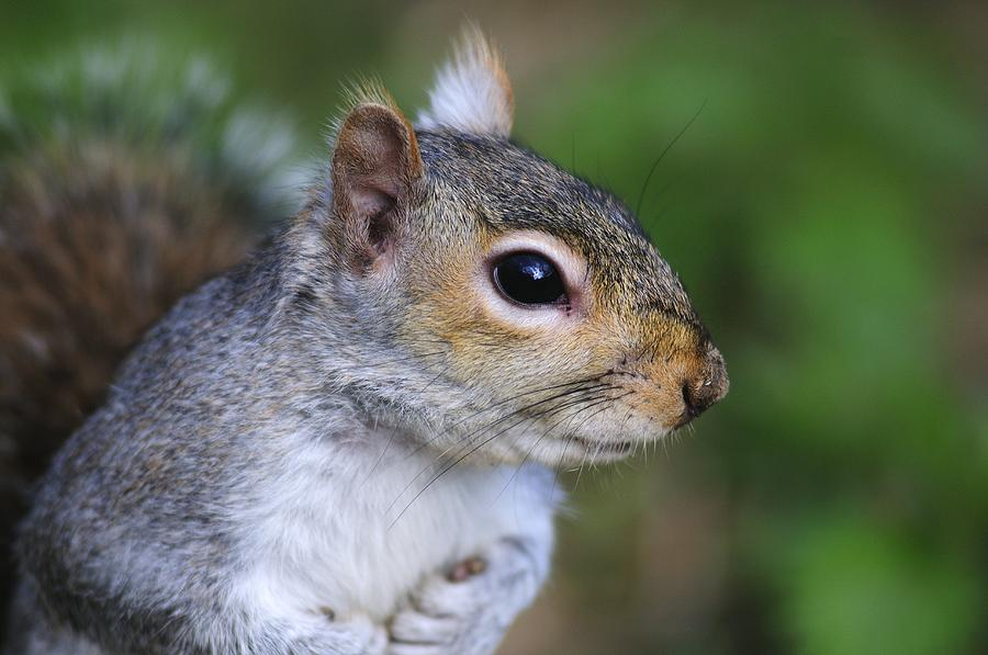 Animal Photograph - Grey Squirrel by Colin Varndell