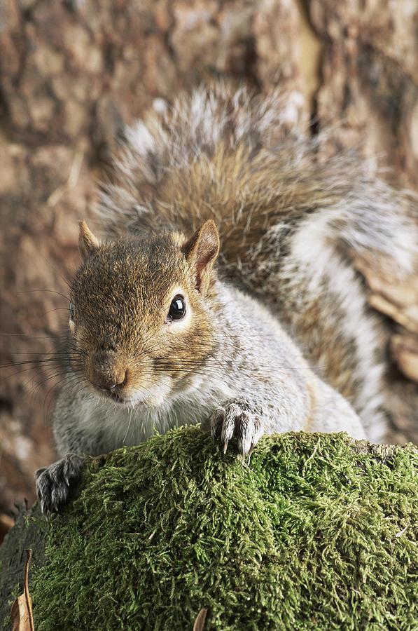 Sciurus Carolinensis Photograph - Grey Squirrel by David Aubrey