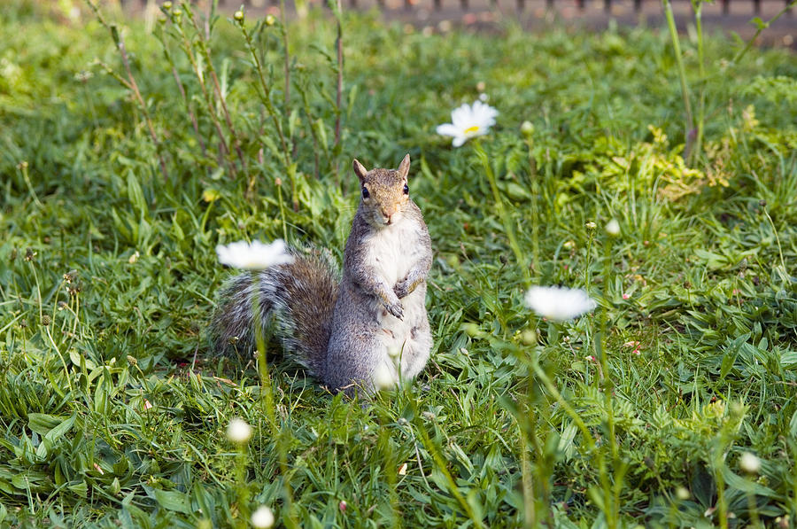 Sciurus Carolinensis Photograph - Grey Squirrel by Georgette Douwma