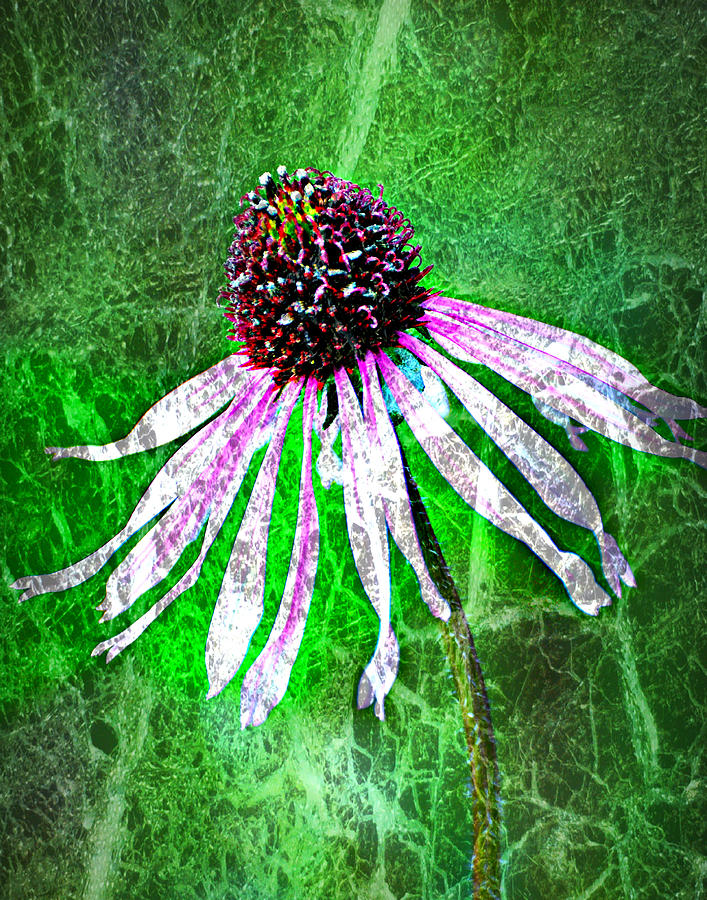 Flower Photograph - Gritty Coneflower by Marty Koch