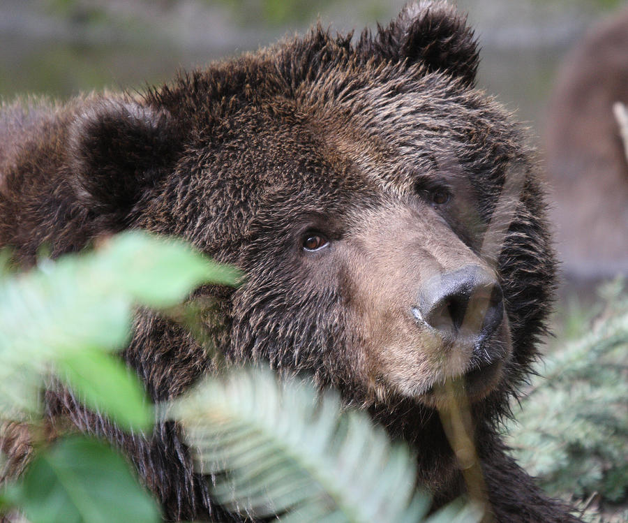 Northwest Trek Photograph - Grizzley - 0005 by S and S Photo