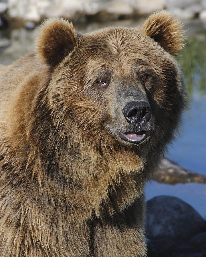 Grizzly Bear Portrait Photograph by Jim Guy