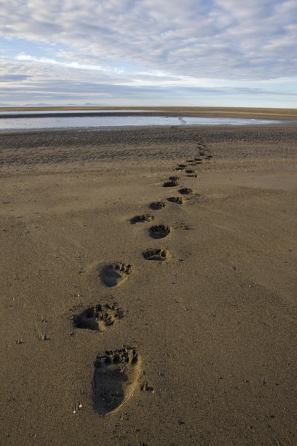 Grizzly Bear Tracks Photograph by Ingo Arndt