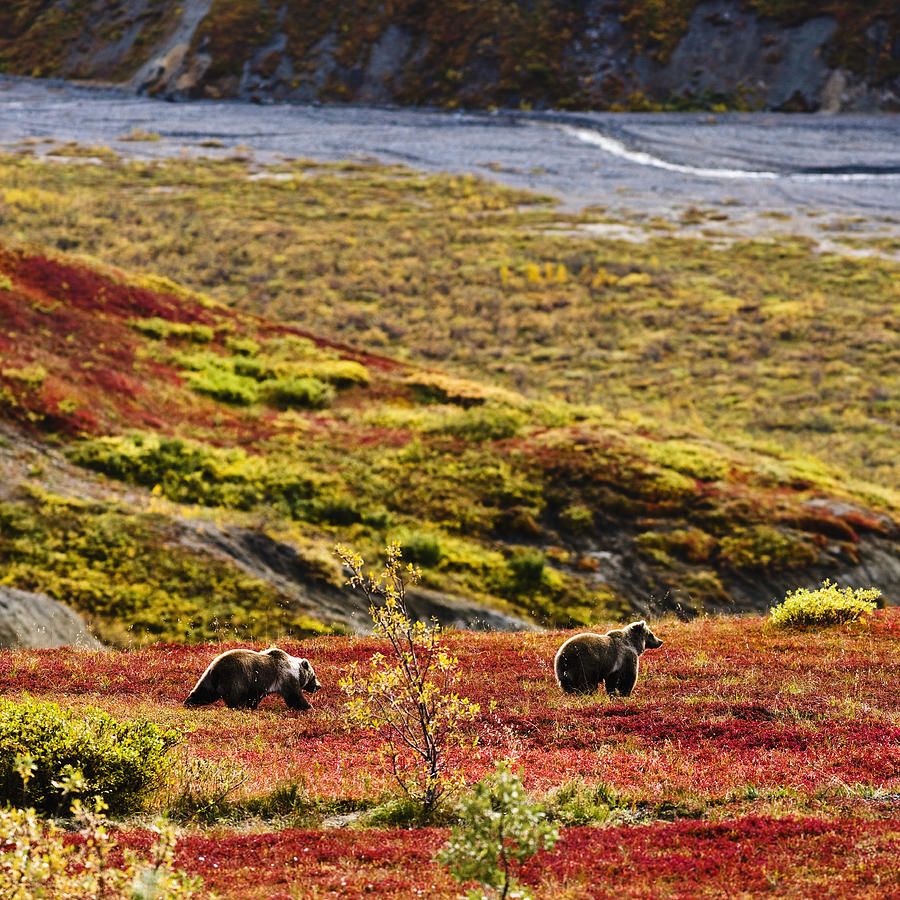 Grizzly Bears And Fall Colours Denali Photograph By Yves