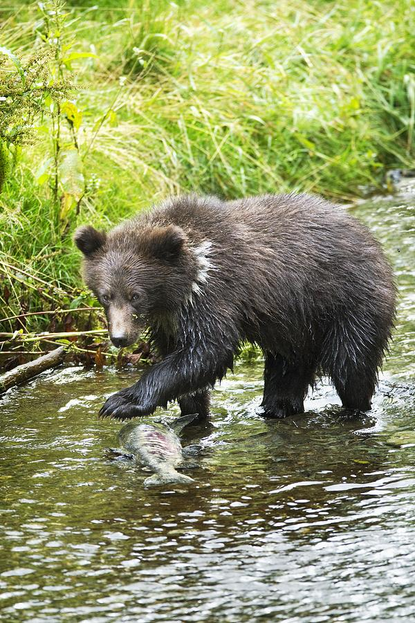 Alaska Photograph - Grizzly Cub Catching Fish In Fish Creek by Richard Wear
