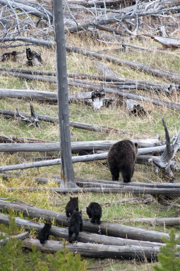 Grizzly Family Walking Through Woods Photograph by Steve Stuller