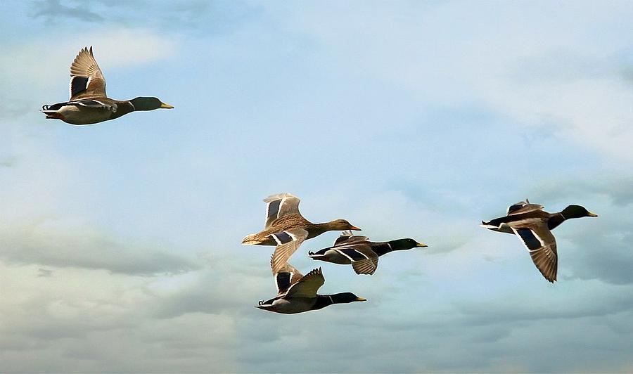 Mallards Photograph - Group Flight by Fraida Gutovich