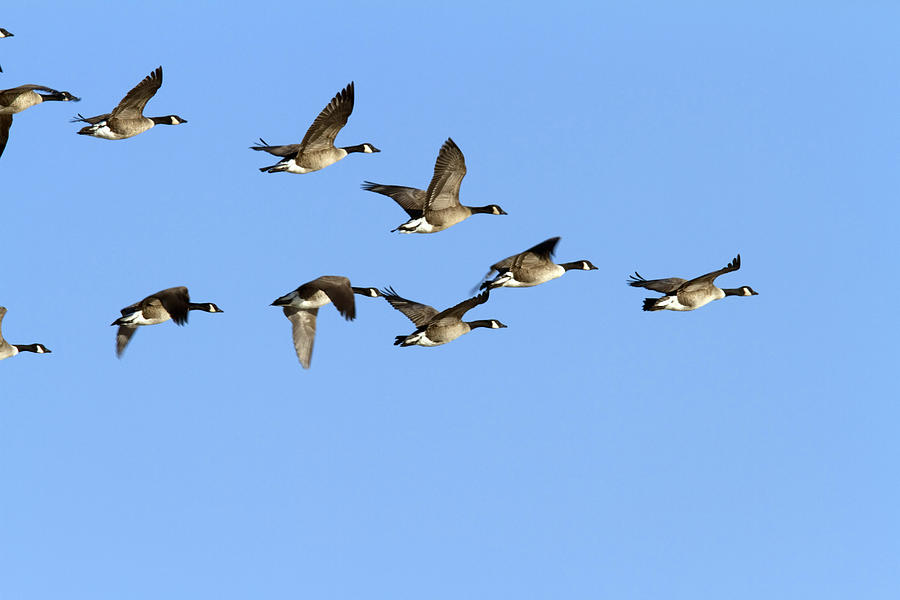 Group Of Canada Geese In Flight Branta Photograph By
