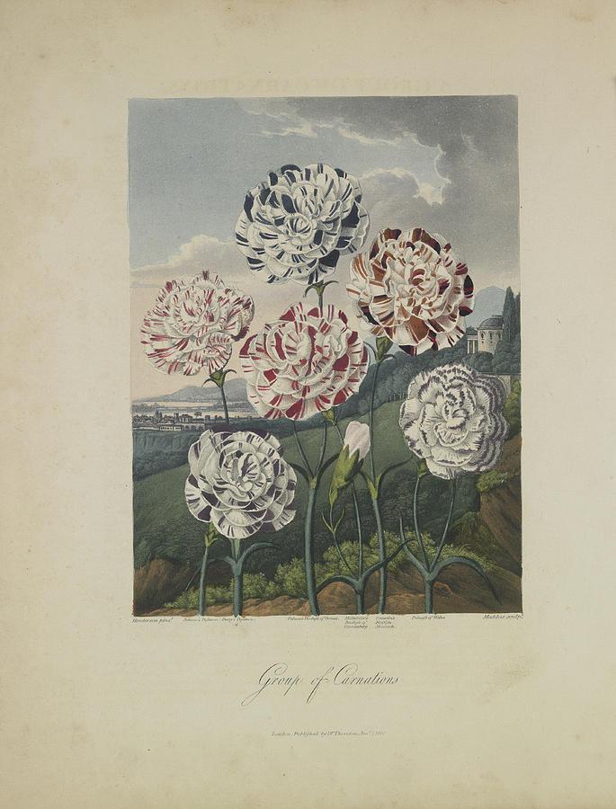Thornton Drawing - Group Of Carnations by Robert John Thornton