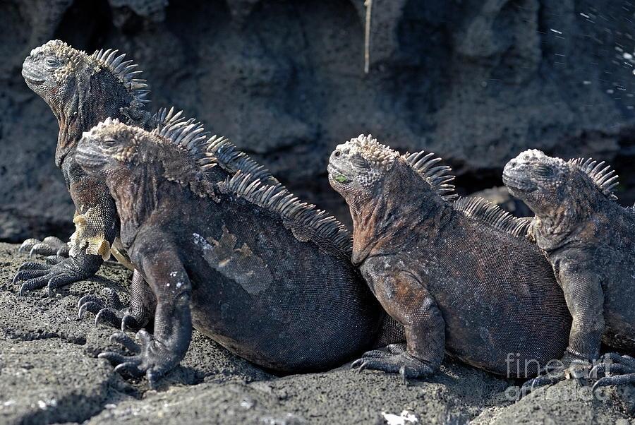 Toughness Photograph - Group Of Marine Iguana Lying On Rock by Sami Sarkis