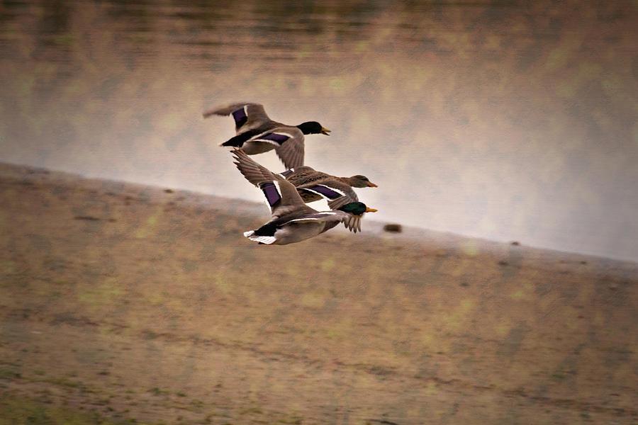 Ducks In Flight Photograph - Grouping V1 by Douglas Barnard