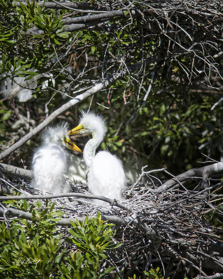 Beaufort County Photograph - Growing Nestlings by Phill Doherty