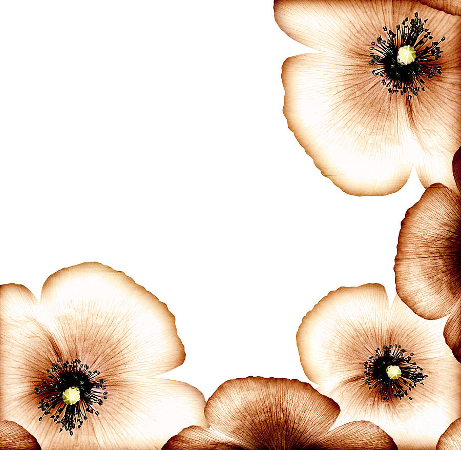 Abstract Photograph - Grunge Poppy Border by Anna Om