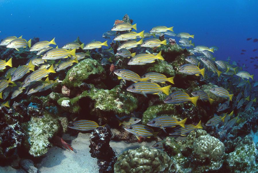Grunt School Along Coral Reef Cocos Photograph by Flip Nicklin