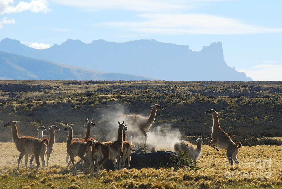 Guanacos Photograph - Guanacos In Action by Camilla Brattemark
