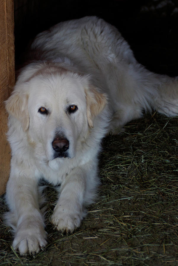 Guarding the Barn by Charles and Melisa Morrison