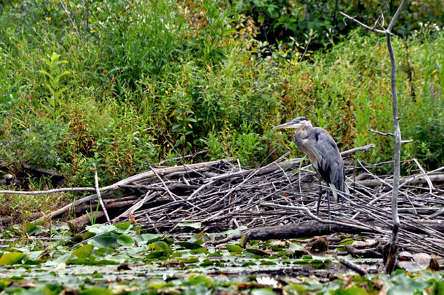 Great Blue Heron Photograph - Guarding The Nest by Larry Hutson Jr