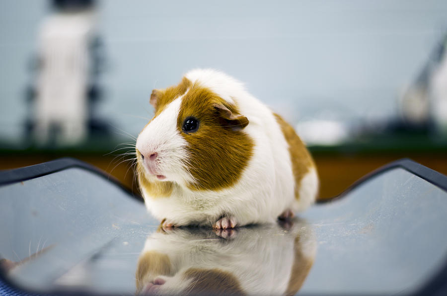 Guinea Pig Photograph by Seymore Imagery
