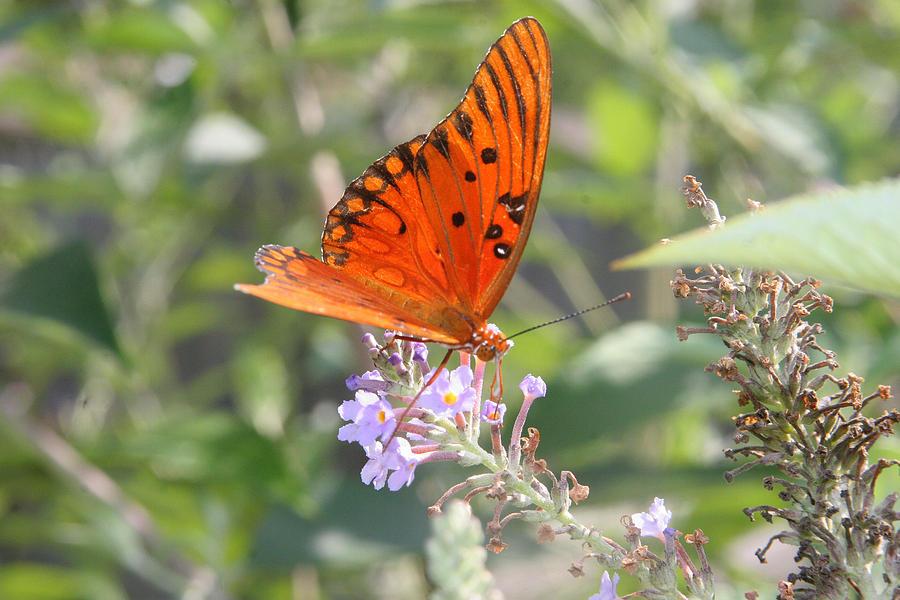 Butterfly Photograph - Gulf Fritillary #4 by Paula Tohline Calhoun