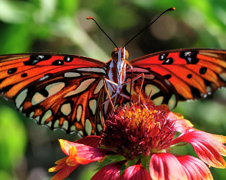 Gulf Fritillary Photograph - Gulf Fritillary Butterfly by Bill Dodsworth