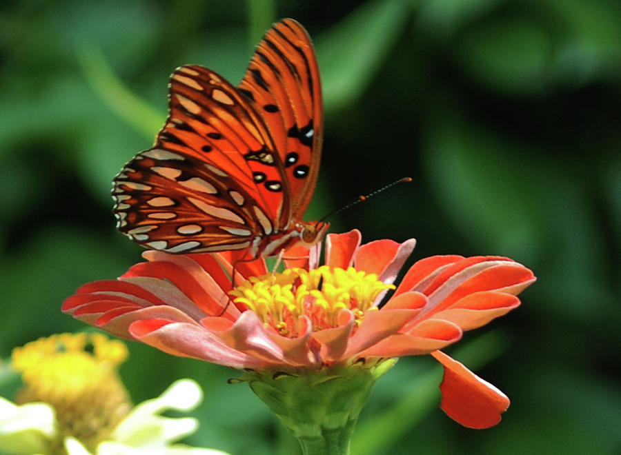 Butterfly Photograph - Gulf Fritillary On Zinnia by Kelly Rader