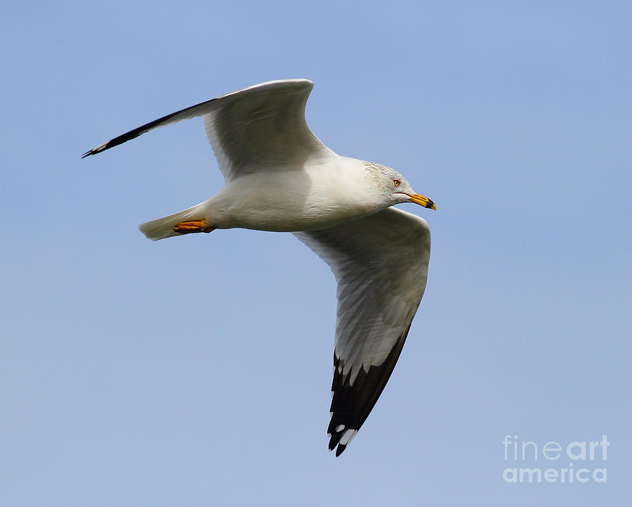 Bird Photograph - Gull In Flight . 7d12084 by Wingsdomain Art and Photography