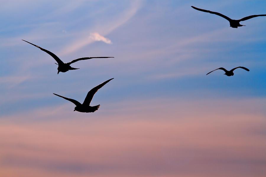 Seagulls Photograph - Gulls At Dusk by Karol Livote