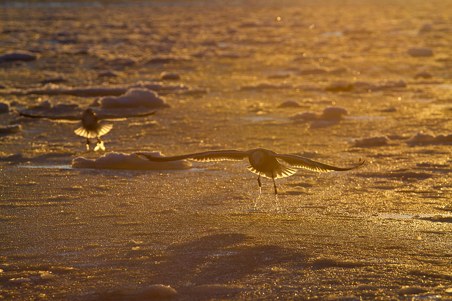 Alaska Photograph - Gulls Searching For A Meal by Tim Grams