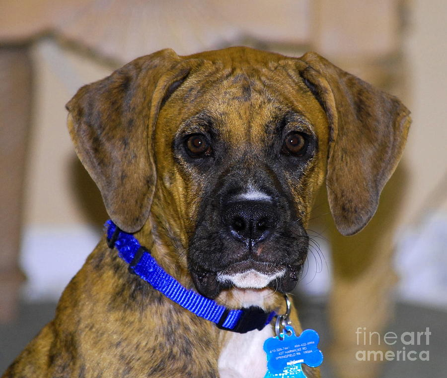 Boxer Photograph - Gunner by Monica Poole