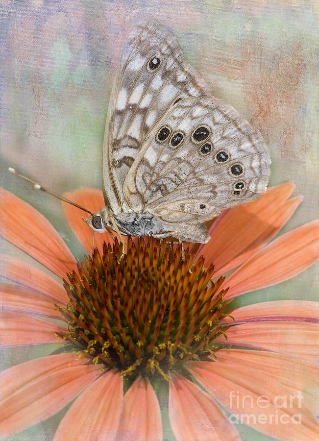 Butterfly Photograph - Hackberry Emplorer Butterfly by Betty LaRue