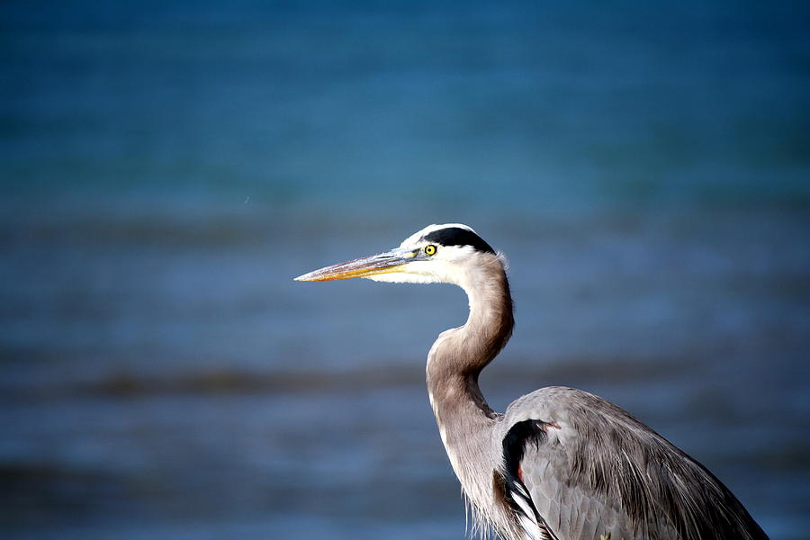 Heron Photograph - Hadley Thinks Of Another Place by Alisa Advani