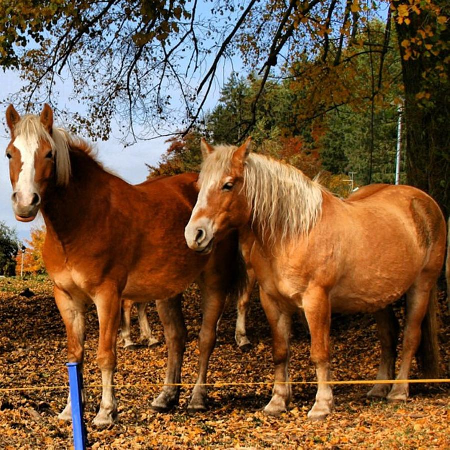 Horse Photograph - Haflinger by Luisa Azzolini