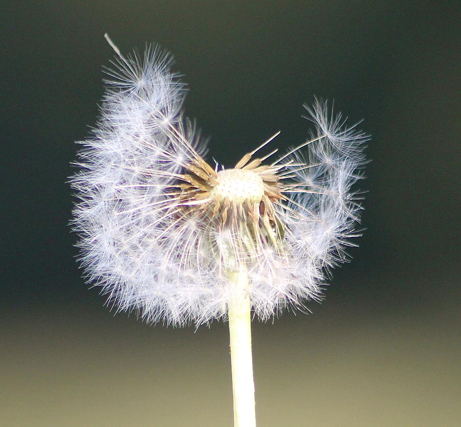 Dandelion Seeds Photograph - Half Gone by Karen Grist
