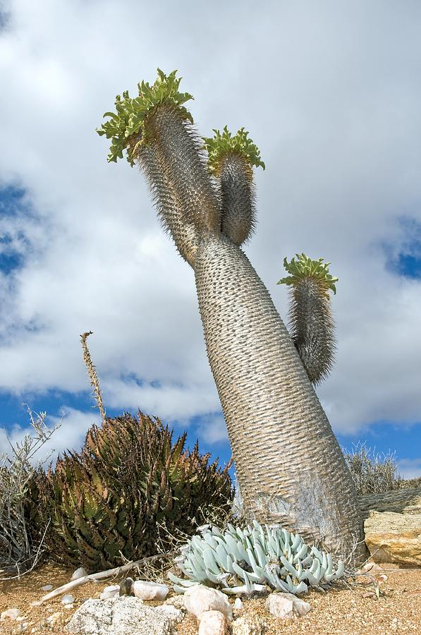 Pachypodium Namaquanum Photograph - Halfmens Tree by Peter Chadwick