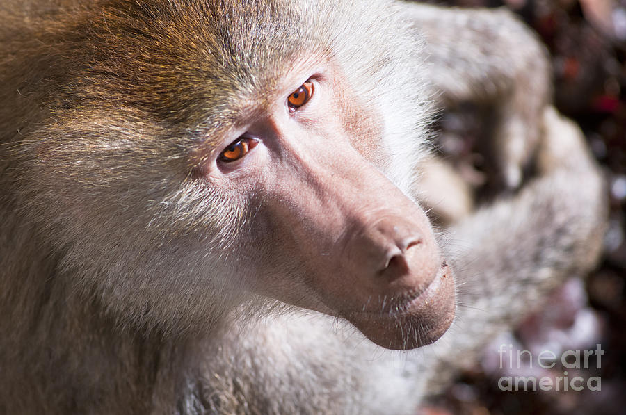 Africa Photograph - Hamadryas Baboon by Andrew  Michael