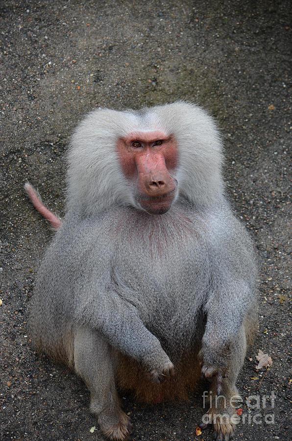 Zoo Digital Art - Hamadryas Baboon by Eva Kaufman