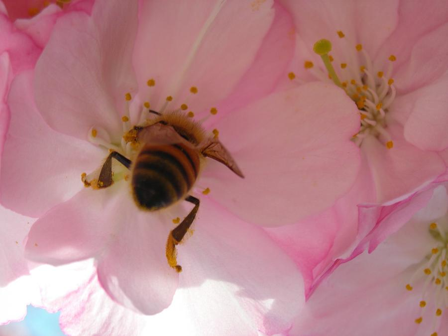 Nature Photograph - Hangin With The Honey Bee by Stacy Lanyon
