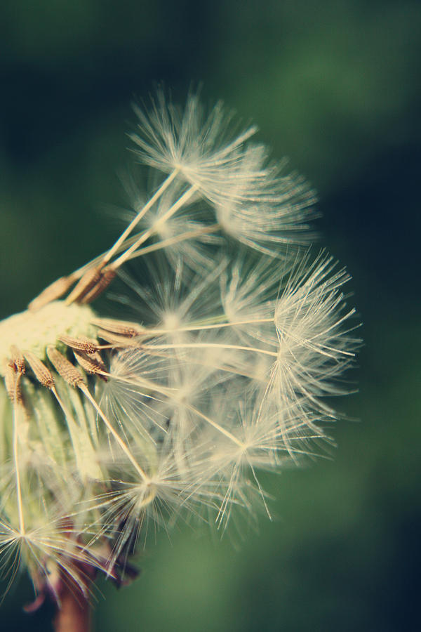 Dandelion Photograph - Hanging On by Heather Applegate