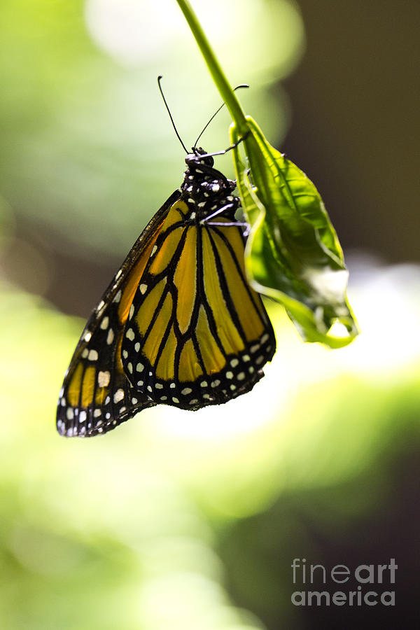 Butterfly Photograph - Hanging On  by Leslie Leda
