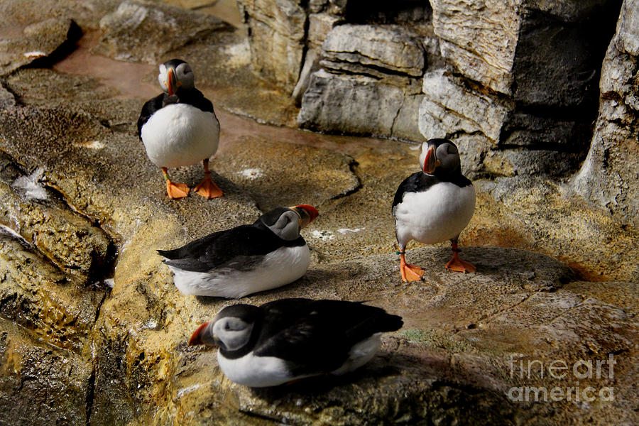 Atlantic Puffin Photograph - Hanging Out by Lee Dos Santos