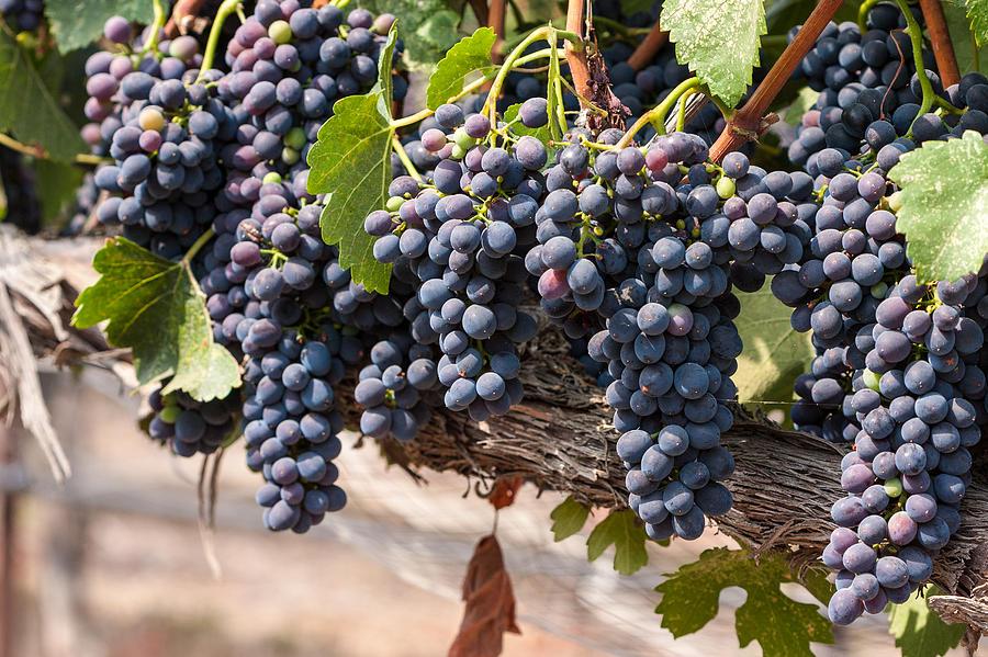 Vineyard Photograph - Hanging Wine Grapes by Dina Calvarese