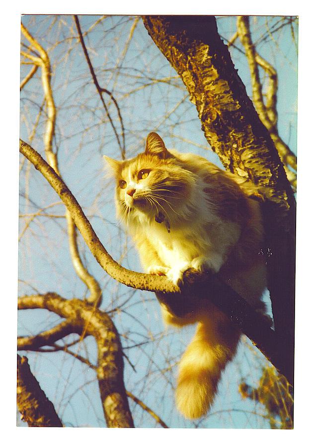 Long Haired Cat Photograph - Hanserelli In Tree by Barbara McGeachen