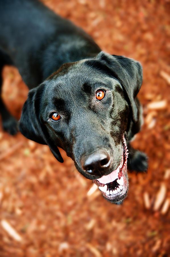 Black Photograph - Happy Black Labrador Dog Outside by Anna Hoychuk