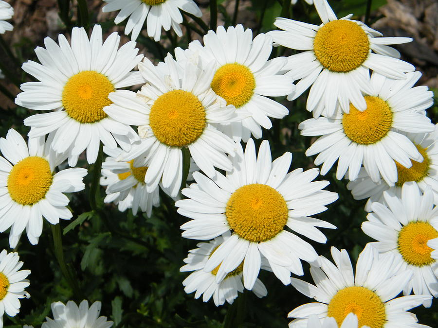 Daisy Photograph - Happy Field Of Shasta Daisies by Mary Sedivy